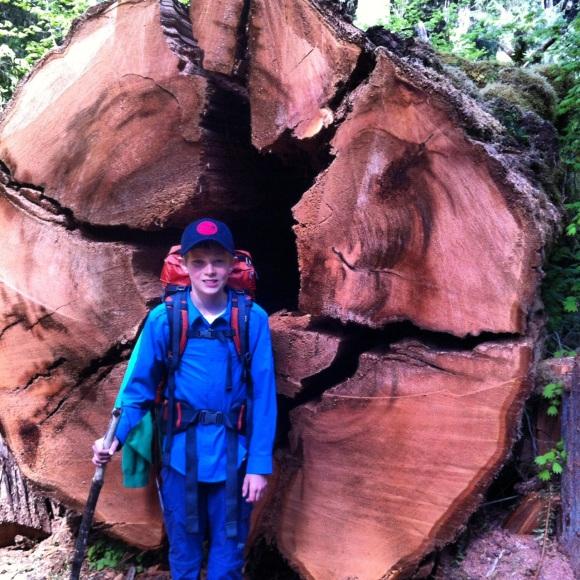 Old growth cedar tree olympic national park